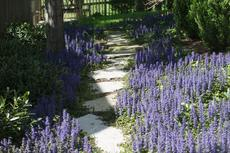 "<div class=""source"">©Ernie Stamper</div><div class=""image-desc"">Our backyard ajuga</div><div class=""buy-pic""></div>"