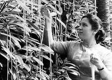 "<div class=""source"">Public Domain</div><div class=""image-desc"">From the BBC 1957 documentary about the harvest of Italy's bumper crop of spaghetti </div><div class=""buy-pic""></div>"